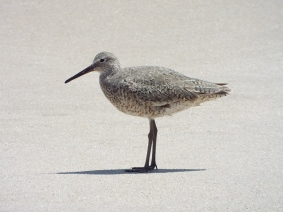 Willet, Melbourne Beach, FL
