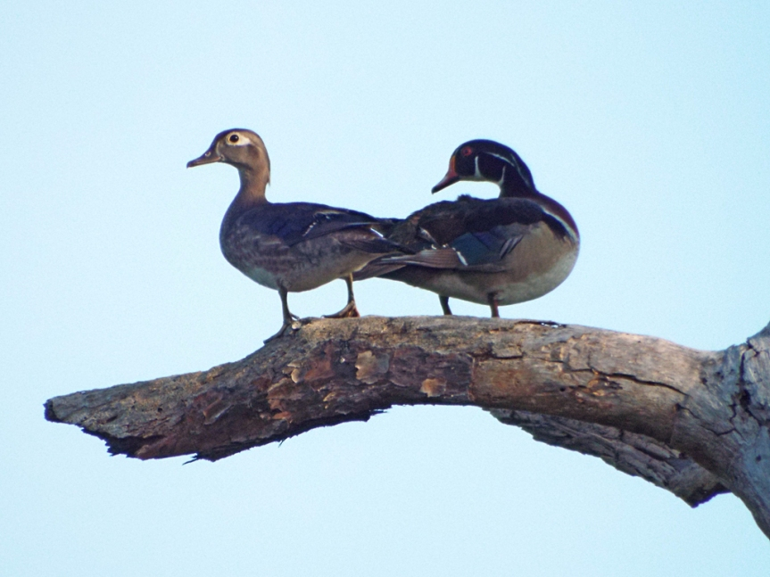 wood-ducks