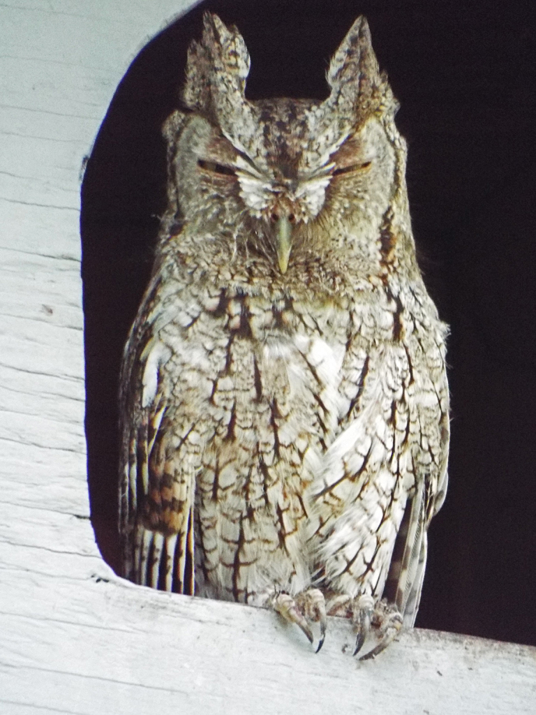 screech-owl-riverwalk-outtake