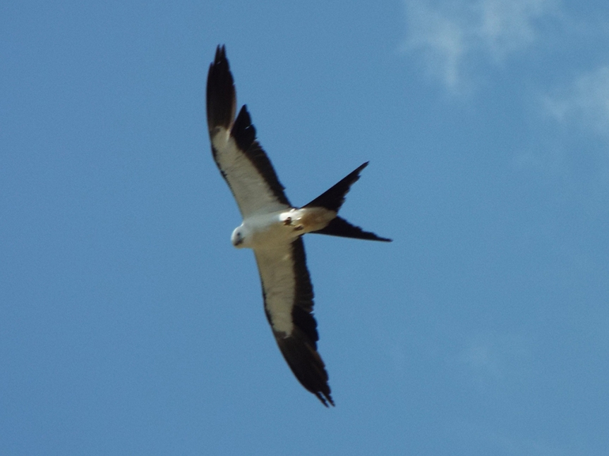swallow-tailed-kite