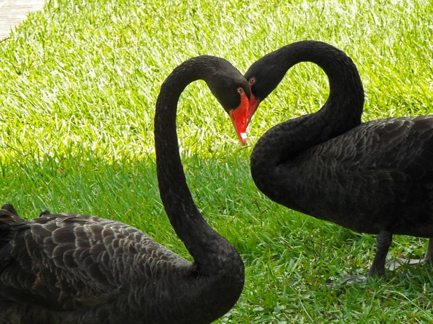 black-swans-c