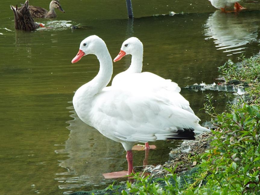 coscoroba-swans