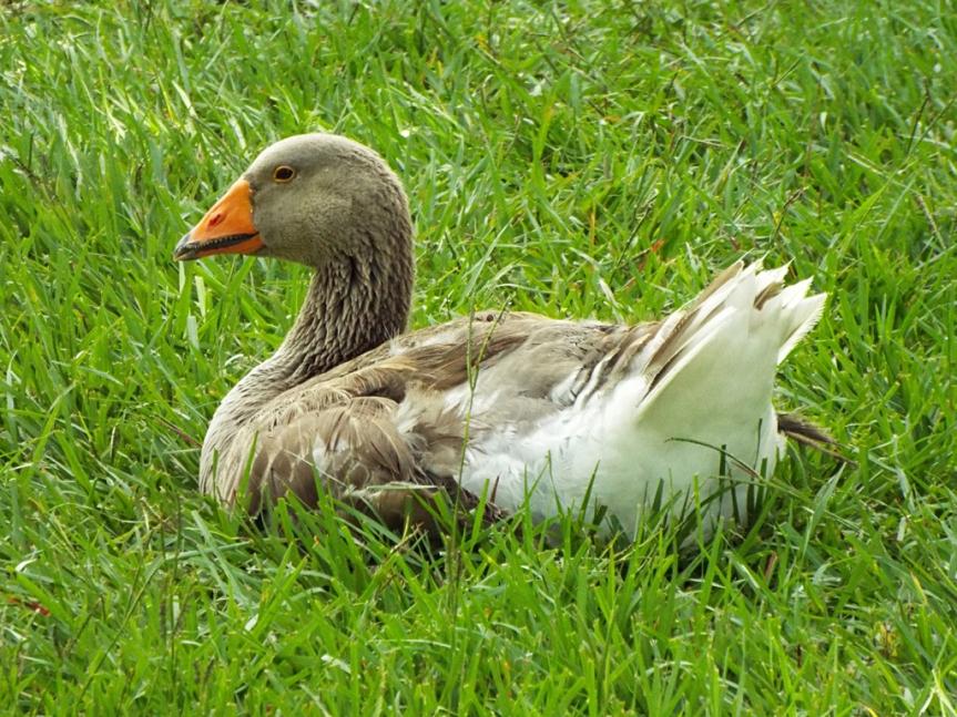 graylag-goose