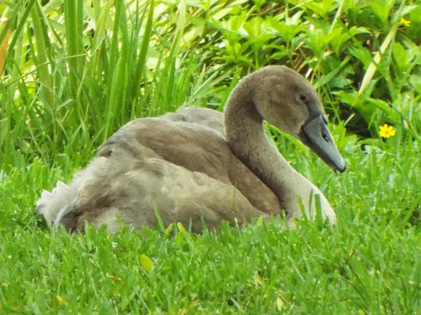 mute-swan-cygnet