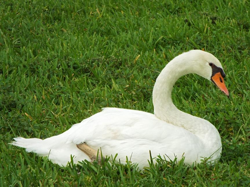 mute-swan1