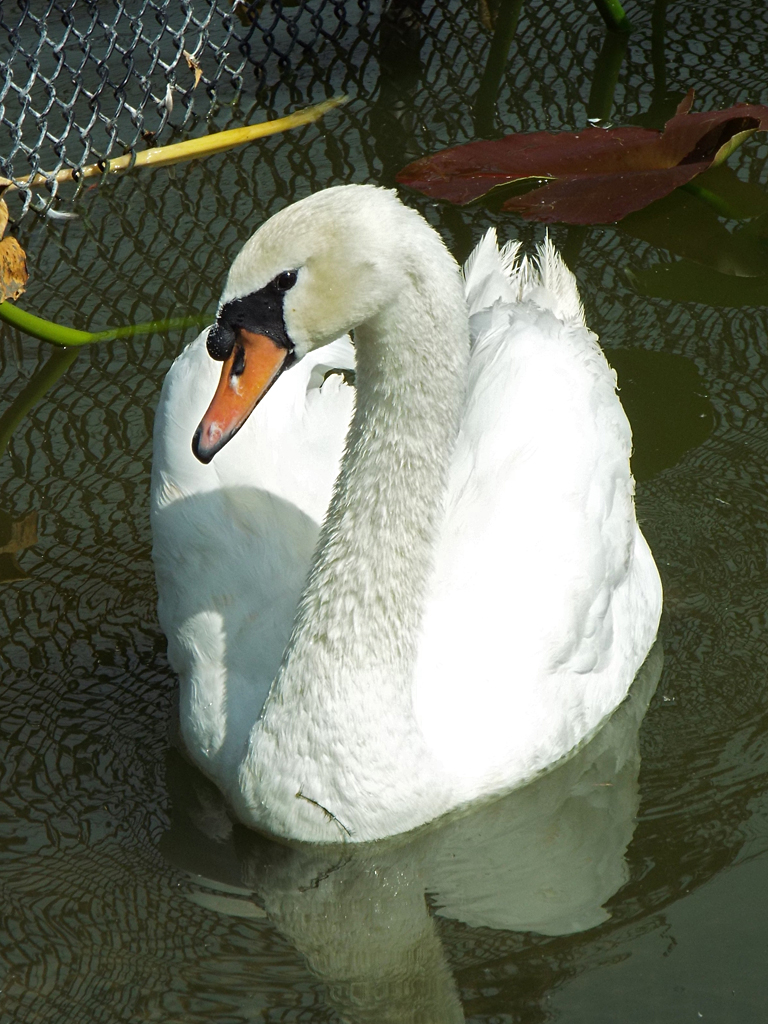 mute-swan2