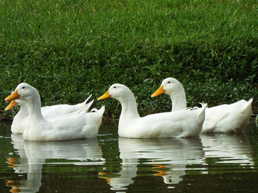 pekin-ducks