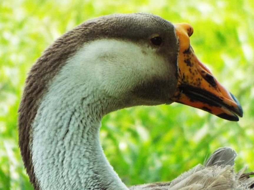 swan-goose2