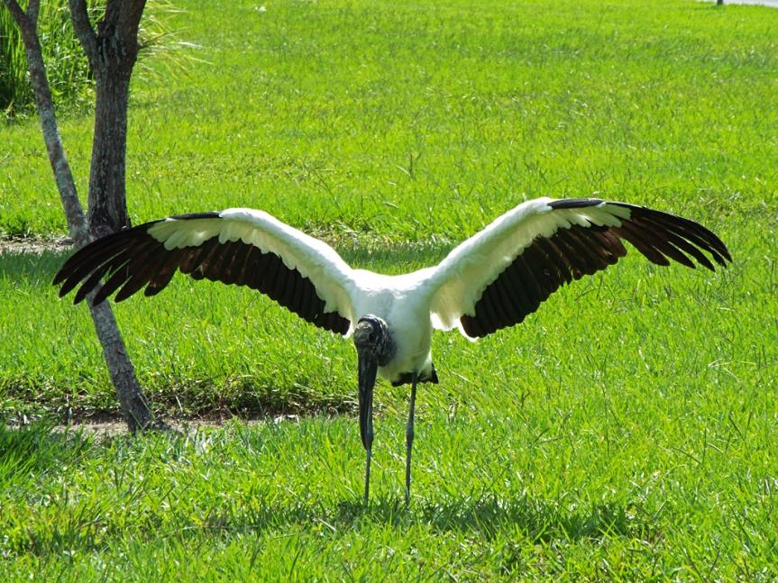wood-stork-spread