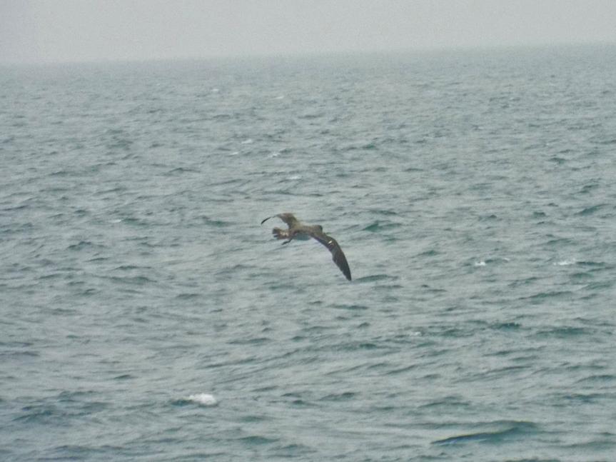 corys-shearwater