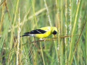 American Goldfinch on the salt marsh