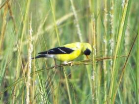American Goldfinch on the salt marsh