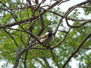 Black-capped Chickadee at Beech Forest Park