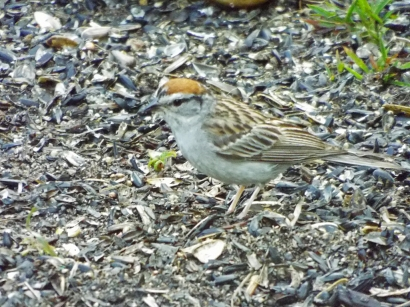 Chipping Sparrow at Morris Island feeder station.