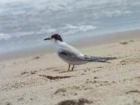 Common Tern near Nauset Beach