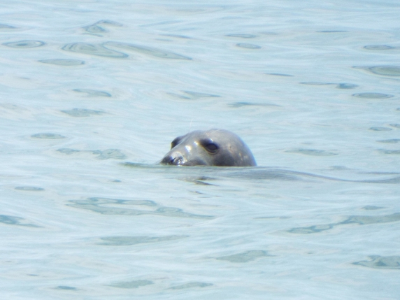 Gray Seal near Nauset Beach