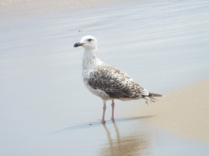 Immature Great Black-backed Gull on Coast Guard Beach`