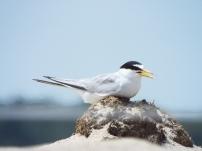 Least Tern nesting near Nauset Beach