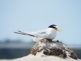 Least Tern nesting near Nauset Beach