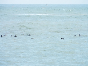Just some of the Gray Seals near Nauset Beach