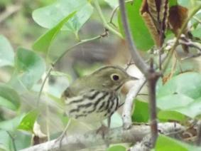 Ovenbird near Doane Rock