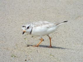 Piping Plover parent!