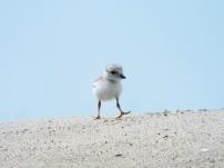 Piping Plover chick, near Nauset Beach