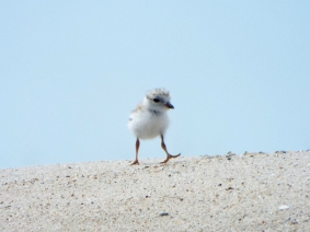 Piping Plover chick, near Nauset Beach