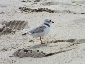 Piping Plover near Nauset Beach