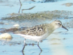 Semipalmated Sandpiper at Morris Island
