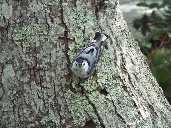 White-breasted Nuthatch at Beech Forest Park