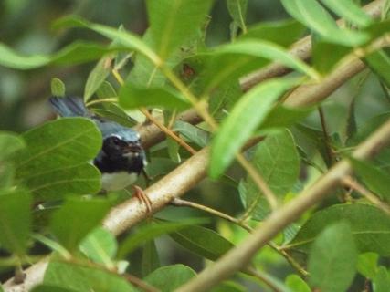 black-throated-blue-warbler-1