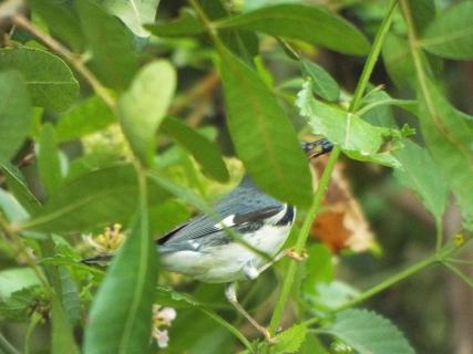 black-throated-blue-warbler-2