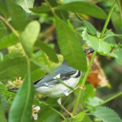 black-throated-blue-warbler-2