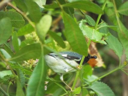 black-throated-blue-warbler-3