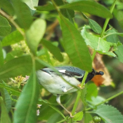 black-throated-blue-warbler-3