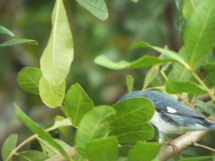 black-throated-blue-warbler-4
