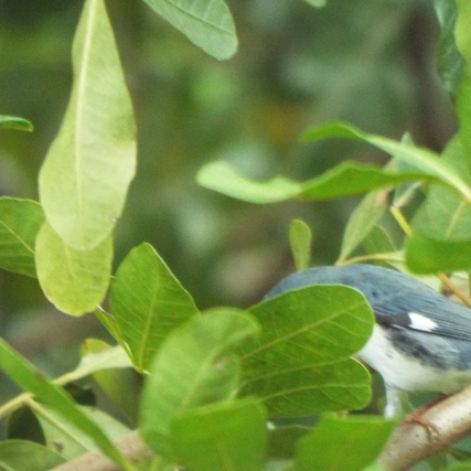 black-throated-blue-warbler-4