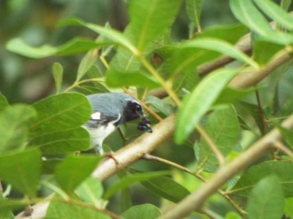 black-throated-blue-warbler-5