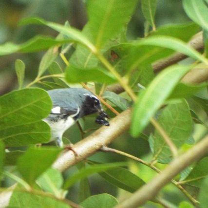 black-throated-blue-warbler-5