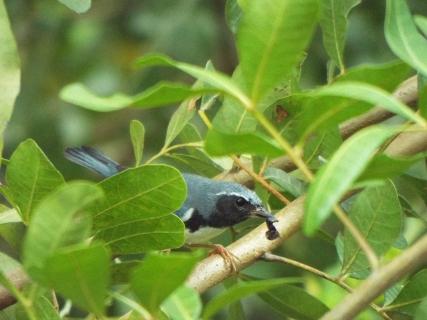 black-throated-blue-warbler-6