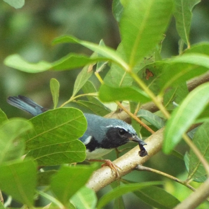 black-throated-blue-warbler-6