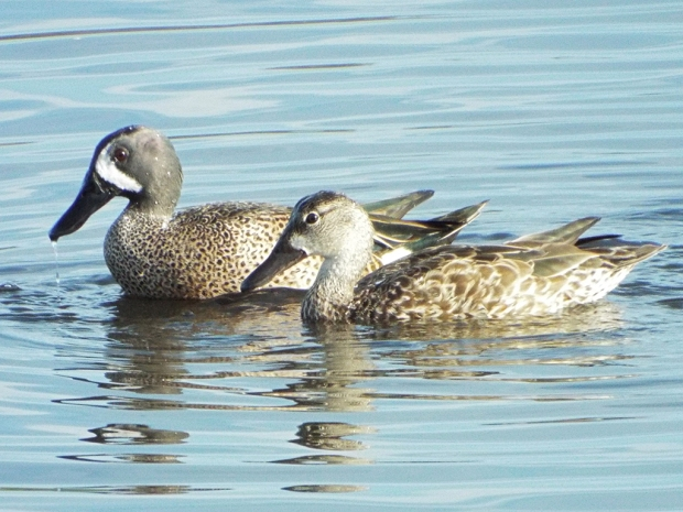 blue-winged-teal-couple