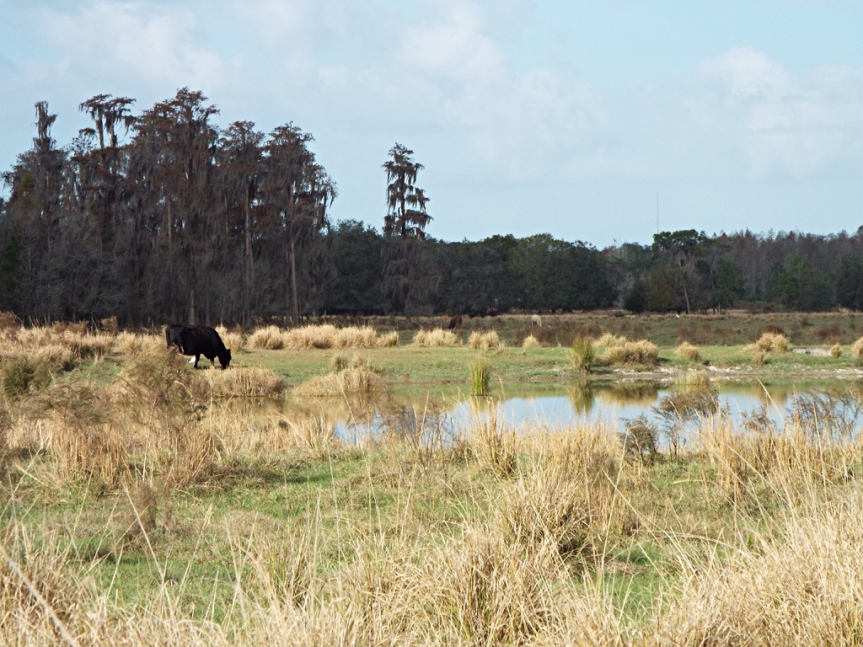cow-and-pond