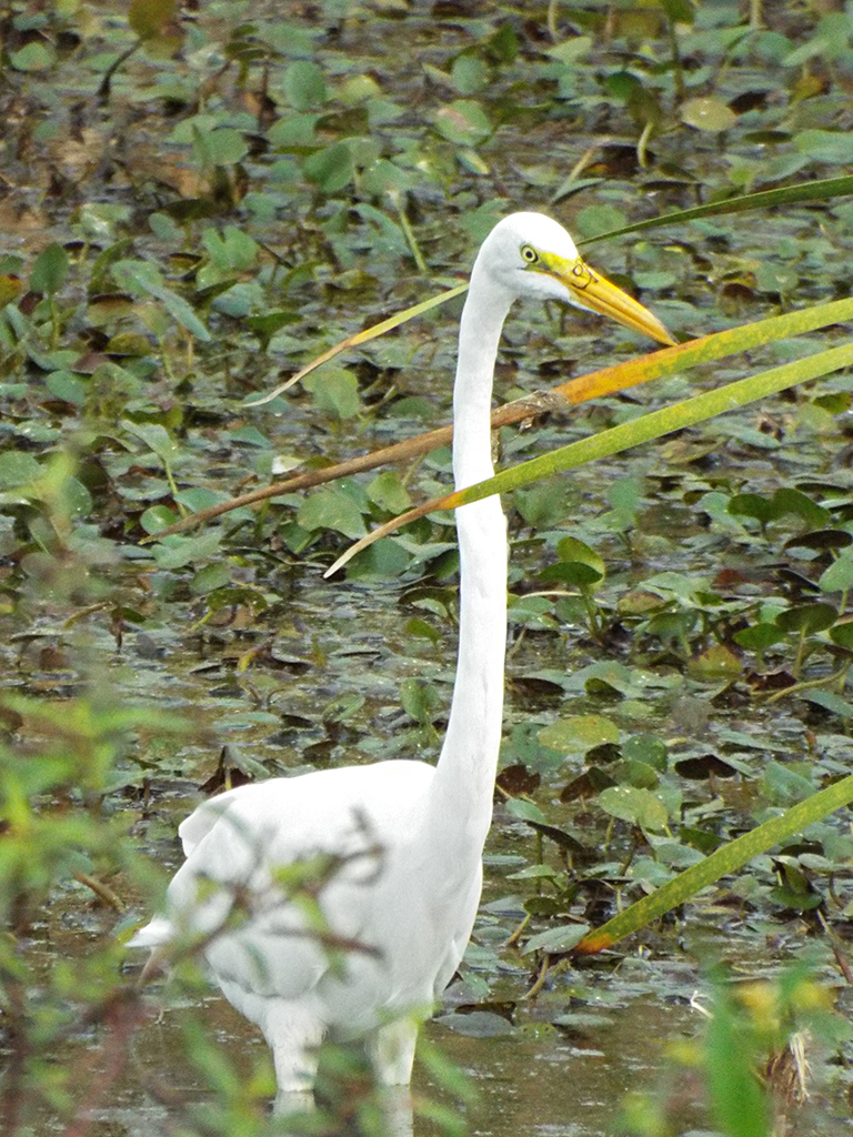 great-egret2