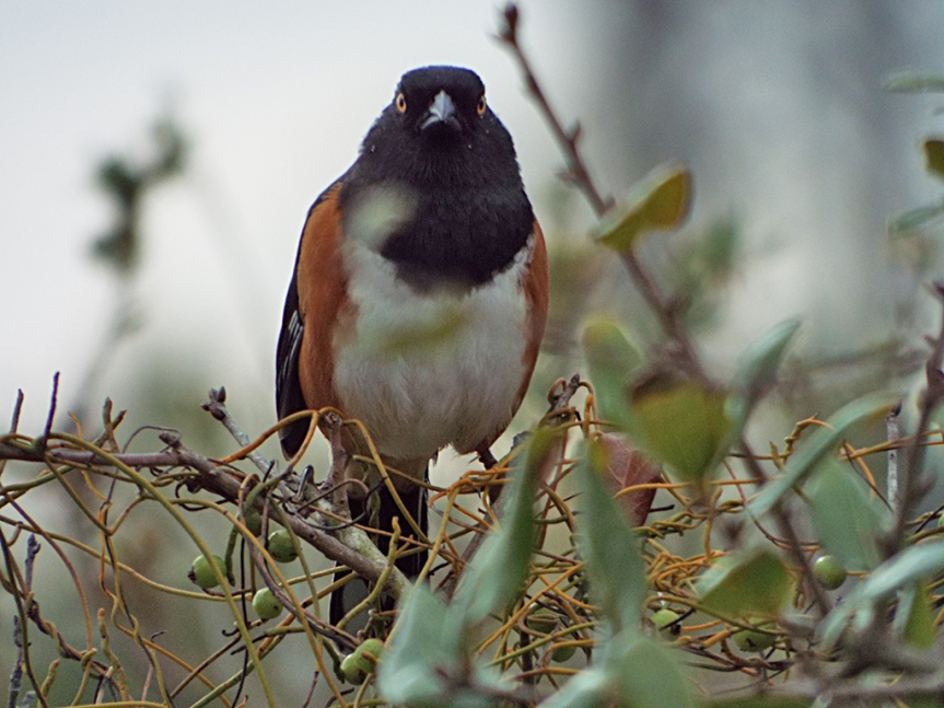 another-eastern-towhee