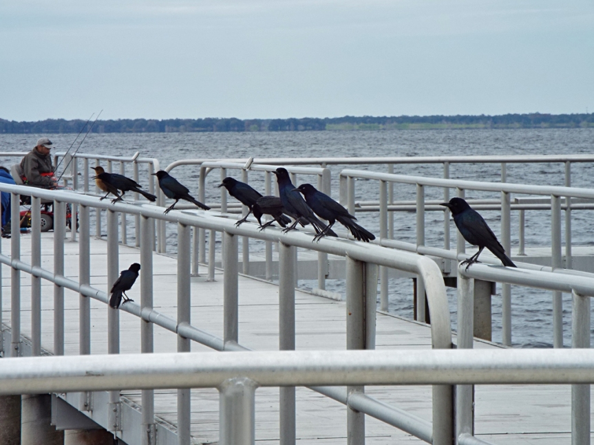 boat-tailed-grackles