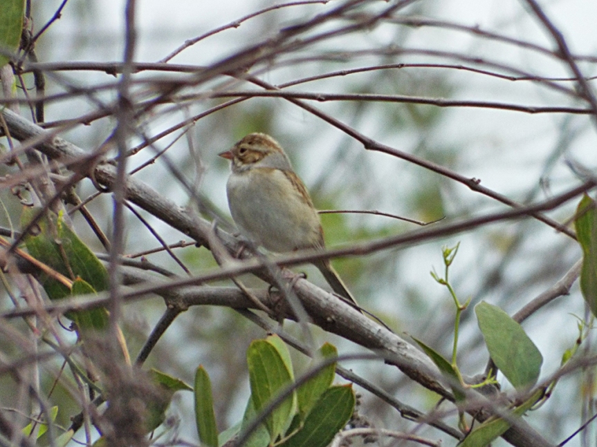 clay-colored-sparrow