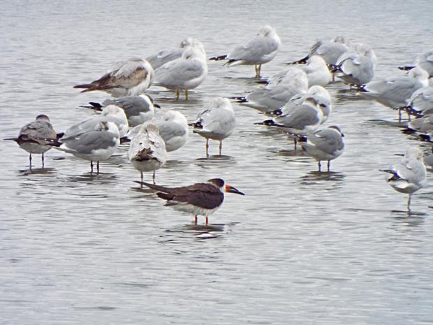 gulls-terns-skimmer