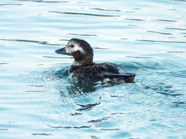 long-tailed-duck_2